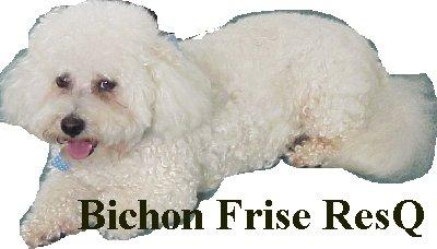 Bichon Frise Rescue